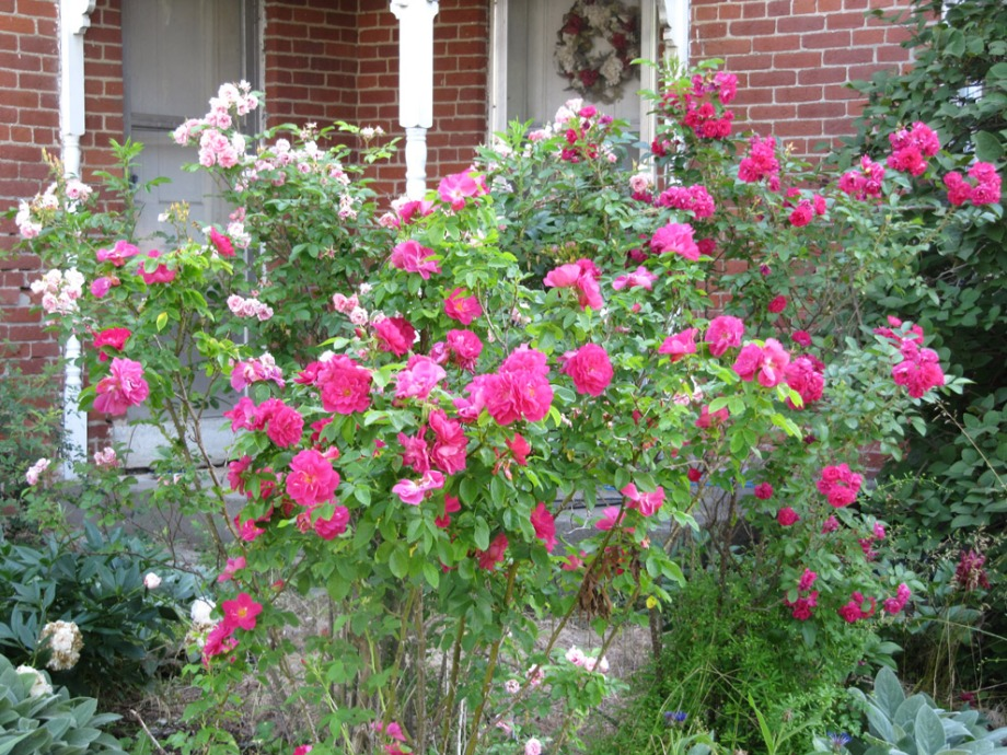 A mix of Old Garden Roses and shrubs, including 'Pink Grootendorst' (left), apothecary's rose (R. gallica officinalis) (front-center) and 'F.J. Grootendorst' surround the entrance with a welcoming fragrance.