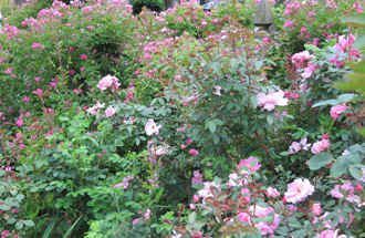 A mix of roses and perennials in various shades of pink makes a striking border.