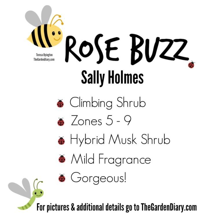 _Rose Buzz_Sally Holmes_1