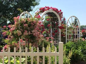 HCMGA Rose Garden ... during Rosefest