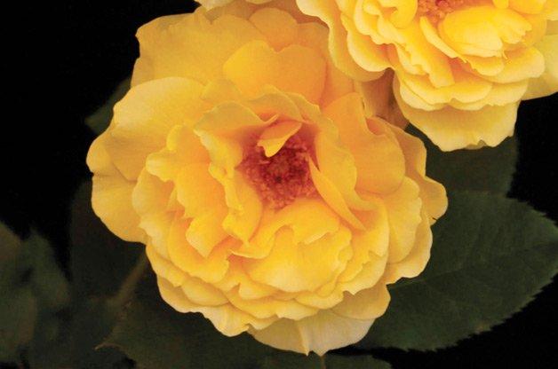 best_roses4
