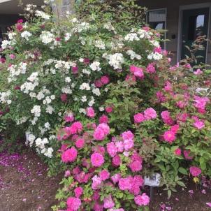 old fashion rose